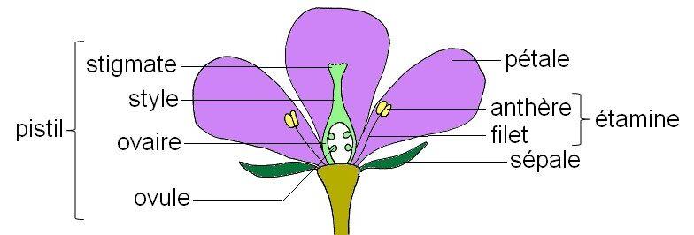 """Les parties d""""une fleur"""