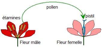 Pollinisation 02.jpg